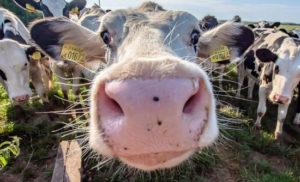 pastoreio regenerativo vacas