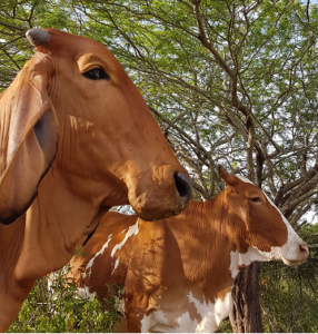raças de vaca